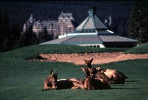Elk on BSH GC